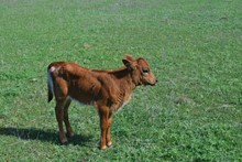 CR MISSED CHANCE HEIFER CALF